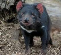 L'évolution au secours du diable de Tasmanie