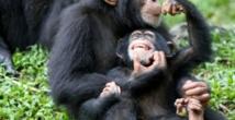 Des cellules reprogrammées utilisées pour régénérer le cœur de macaques