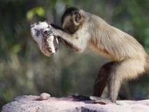 Des singes plus doués qu'on ne le pensait