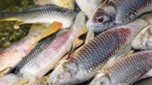 Les poissons d'eau douce cruciaux pour la sécurité alimentaire dans le tiers-monde