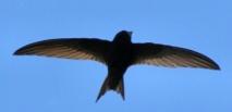 Le martinet noir bat le record de vol non-stop