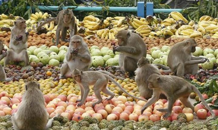 Insolite : Un festin pour les singes