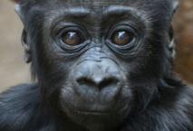 60% des primates menacés d'extinction