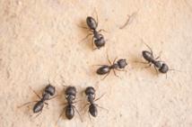Les fourmis ont un GPS très sophistiqué