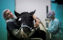 A Grosbois, on soigne les chevaux presque comme les hommes