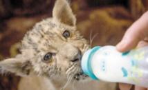 Tsar, un bébé ligre qui fait le roi dans un zoo de Russie