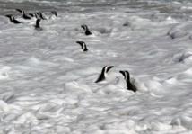 Les causes de l'extinction des manchots du Cap