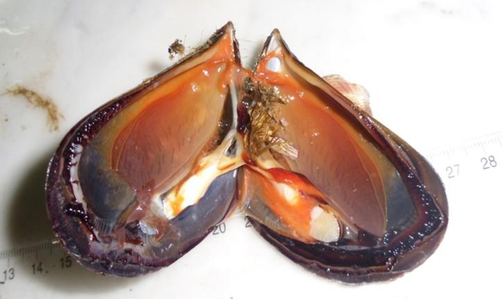 Moule Mytilus galloprovincialis ouverte ; les valves sont maintenues fermées par la contraction des muscles de couleur blanche ; on distingue nettement les branchies du système respiratoire, le manteau en stade de ponte et le byssus collé au pied. (Cueillie à Moulay Bousselham, photo prise en 2010).