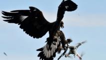 Insolite : Des aigles pour  combattre les drones