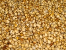 Le millet ou ''illane'', une plante très prisée dans la région de Drâa-Tafilalet