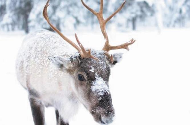 """Les rennes victimes du """"coup de chaud"""" dans l'Arctique"""