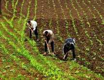 Production céréalière  : Le prix de référence fixé à 270 DH le quintal