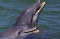 Les dauphins sauvages plus malades que ceux en captivité