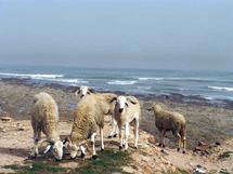 Tafraout : Tazekka part en guerre contre le bétail des riverains