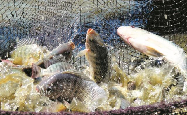 La FAO tire la sonnette d'alarme face à un virus mortel affectant les tilapias