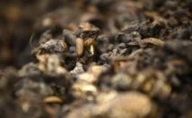 """Des """"asticots gloutons"""" contre les déchets alimentaires"""