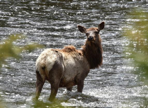 Avec l'âge, les élans femelles apprennent à éviter les chasseurs