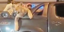 Insolite : Virée en voiture avec une lionne
