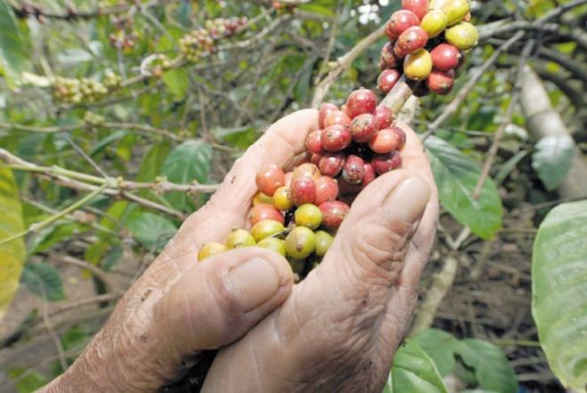 La culture du café en Ethiopie menacée par le réchauffement climatique