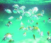 Changement climatique  : Diminution de la taille des poissons