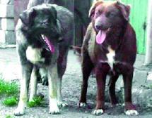 Une espèce canine nationale digne d'intérêt : Le chien de l'Atlas menacé de disparition