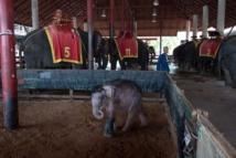 """En Thaïlande, envers du décor sombre pour les """"éléphants à touristes"""""""