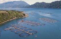 Le Chili veut produire plus de saumon sans provoquer d'hécatombe