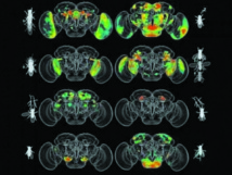 Une intelligence artificielle a décrypté le cerveau des mouches