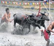 Insolite : Courses de buffles à la thaïlandaise