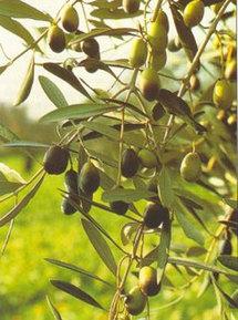 Journées méditerranéennes de l'olivier