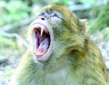 Organisation d'un atelier de sensibilisation des ONG marocaines : Le singe magot en vedette américaine à Rabat