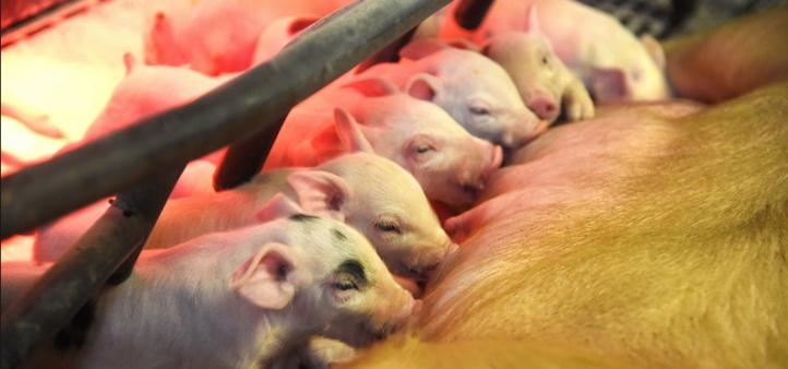 Des porcs génétiquement modifiés pour être donneurs d'organes