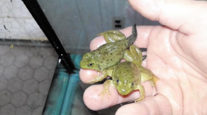 Elever et vendre des grenouilles pour lutter contre leur trafic