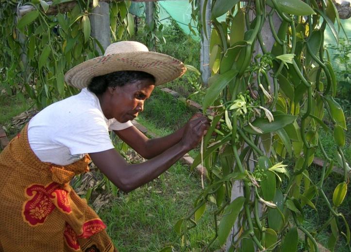 A Madagascar, le prix de la vanille face à une flambée historique