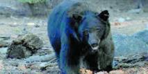 Un ours attaque un chasseur à l'arc dans un arbre