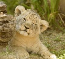 Insolite : Un lionceau chez soi