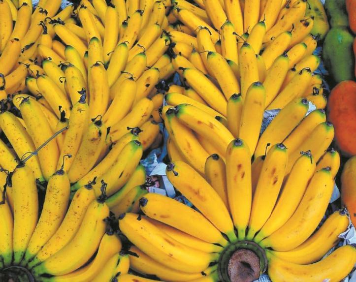 La jaunisse fusarienne du bananier menace le fruit le plus vendu au monde