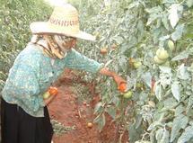Alors que l'UE veut donner une impulsion aux exportations marocaines : La tomate demeure victime de la surenchère des producteurs français espagnols