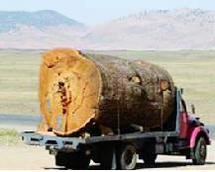 Saisie d'une cargaison de bois à Khénifra : Le carnage du cèdre se poursuit