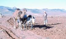 A cause de la sécheresse et du coût élevé de l'opération : Des milliers de paysans renoncent à labourer leurs terres à Tafraout