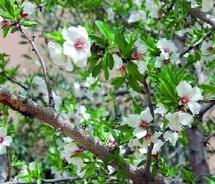 Tafraout célèbre la floraison de ses amandiers