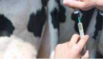Campagne de vaccination de rappel des bovins contre la fièvre aphteuse couplée à l'identification des bovins non identifiés