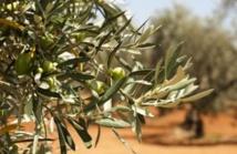 Troisièmes Assises régionales de l'olivier à Tétouan