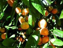 Agadir : protection intégrée en vergers d'agrumes