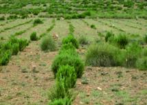 Les plantes aromatiques et médicinales du Maroc