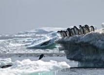 Découverte de  manchots Adélie  isolés en Antarctique