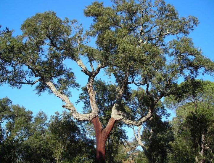 Le chêne-liège, un rempart précieux contre l'ensablement