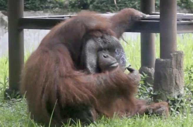 Insolite : Un orang-outan fumeur
