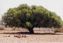Gestion durable de l'arganeraie et enjeux  de la lutte contre la désertification