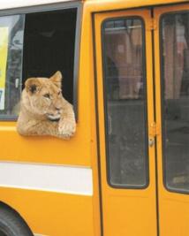 Insolite : Un lion dans le bus